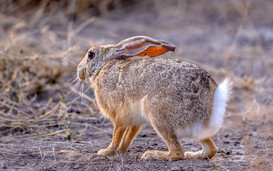 Black Naped Jungle Hare