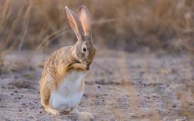 Black Naped Hare