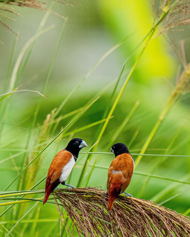 Tricoloured Munia pair