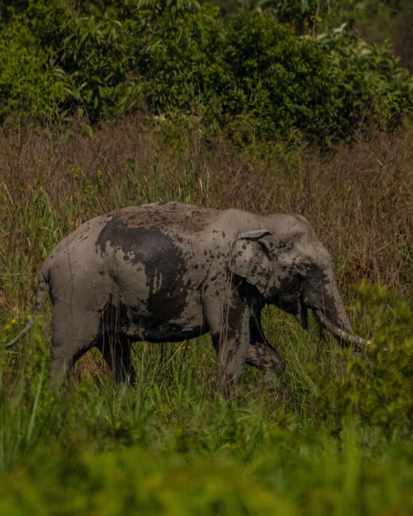 Asiatic Elephant