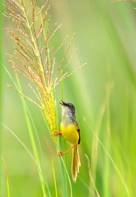 Yellow bellies Prinia