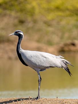 Demoisel Crane