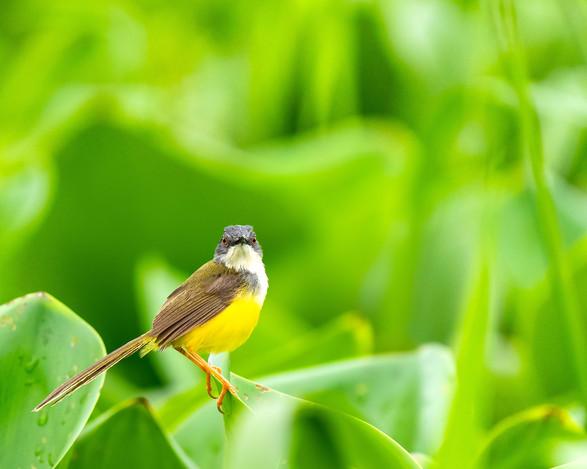 Yellow Bellied Prinia (male)