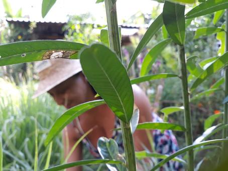 Entrevista: Os quintais medicinais que curam e promovem a saúde dos povos tradicionais