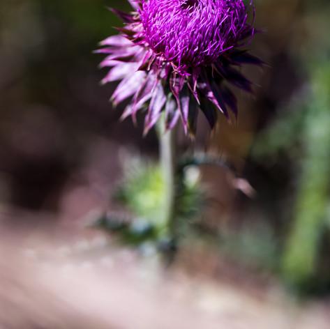 Pinky / Purple Flower