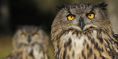 Eurasian Eagle Owl EB.jpg