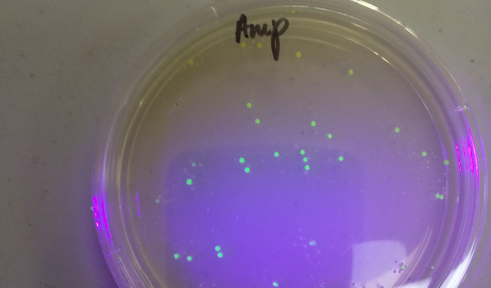 bacterial colonies expressing GFP