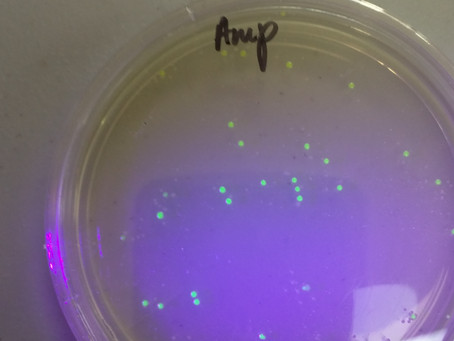 Inserting jellyfish DNA into bacteria