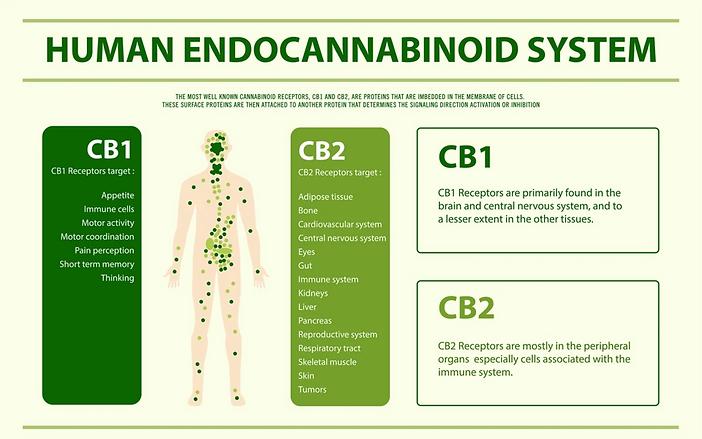Endocannabinoid_System_1000x.webp