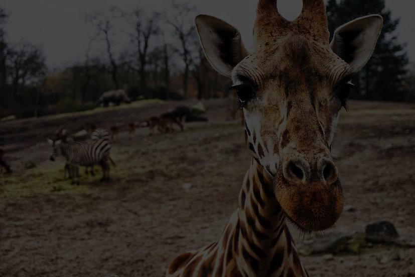 giraffe%20on%20brown%20sand_edited.jpg