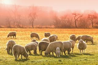 ニュージーランドの『羊』の数は?