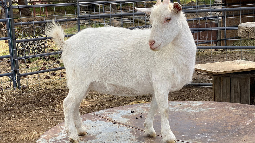 Nigerian Dwarf two years old ready to give birth
