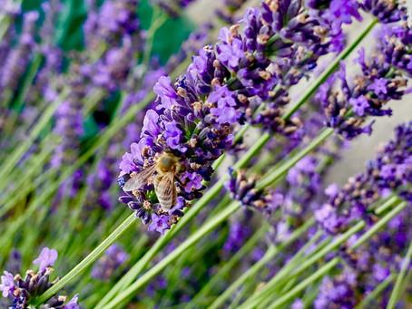Honeybees in the lavender