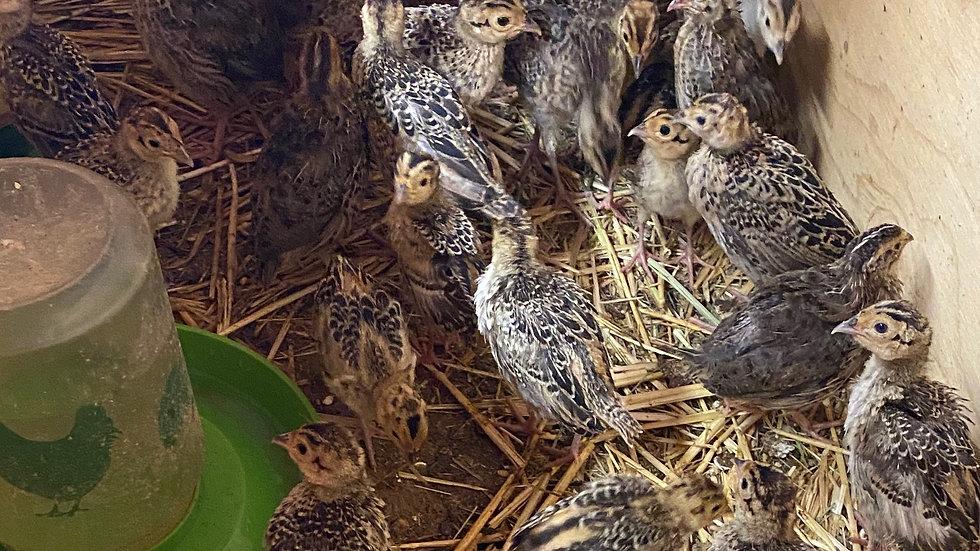 Month plus old Pheasant chicks