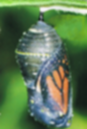 Chrysalis (cocoon) with butterfly inside - symbol of personal transformation