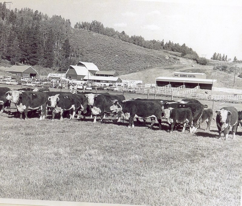 Cattle on the Raven