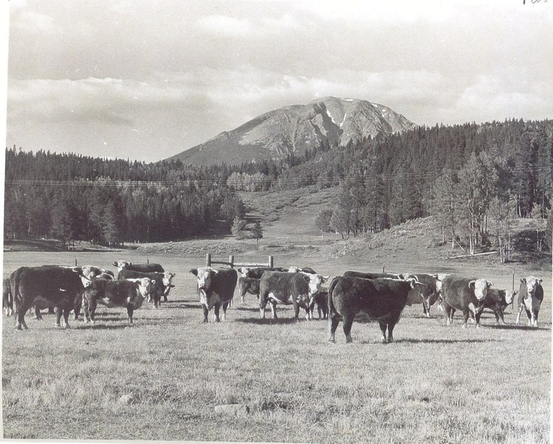 Cattle on Raven