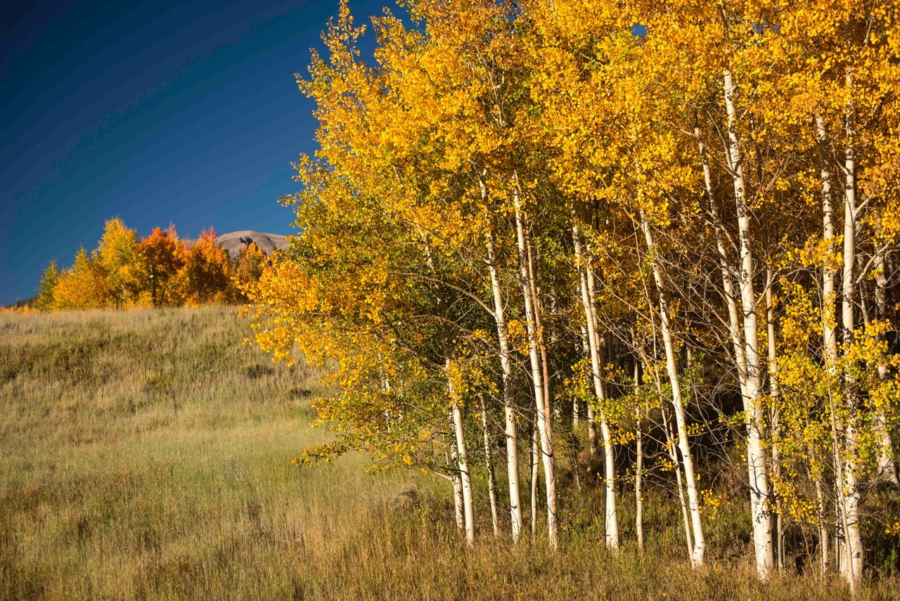 Aspens in Eagle's Nest