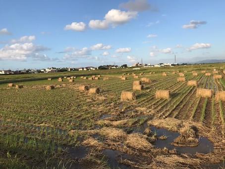 稲刈りを終えた田んぼの風景