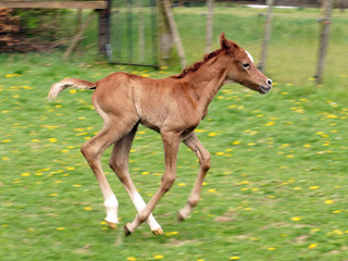 First filly of FA Wanis has arrived