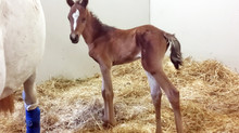 Tariq, promising colt by FA Wanis our of Schabaka