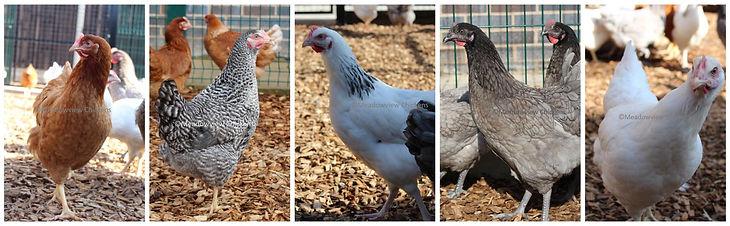 chickens multi.jpg