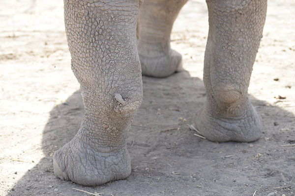Southern White rhino hind feet and legs