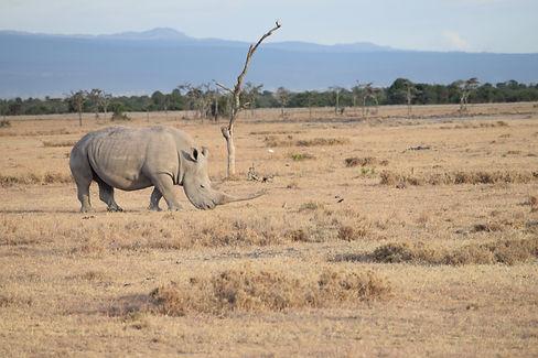 Southern White rhino-immense horn.