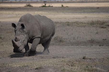 Magnificent Southern White rhino male.