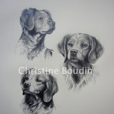 Etude Epagneul Breton  Peinture de l'artiste Christine Boudin
