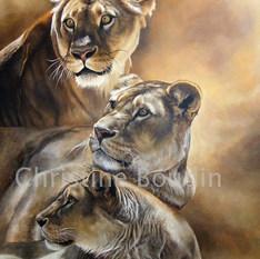 Etude de lionnes C Boudin.