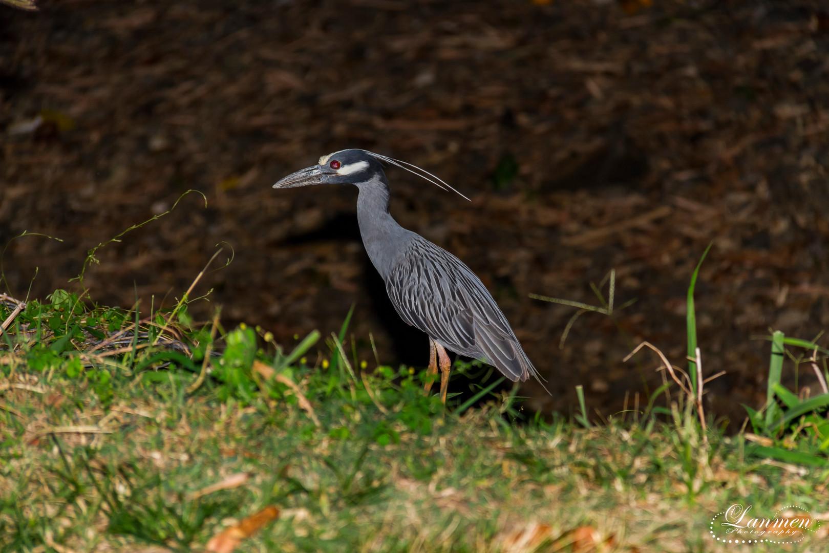 St Lucia Photography Wildlife Bird Littl