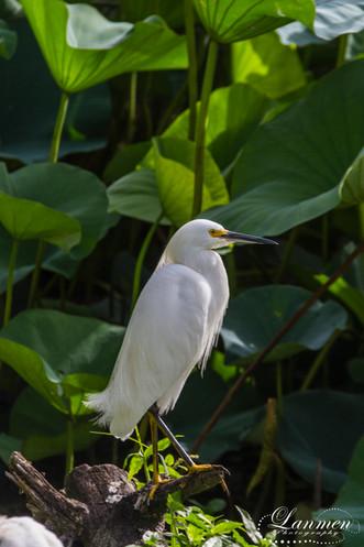 St Lucia Photography Wildlife Bird Snowy