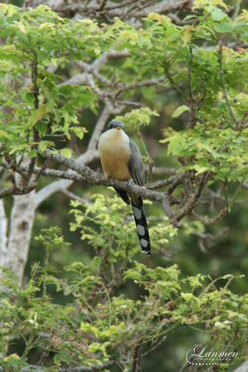St Lucia Photography Mangrove Cuckoo.jpg