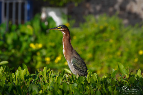 St Lucia Photography Wildlife Green Hero