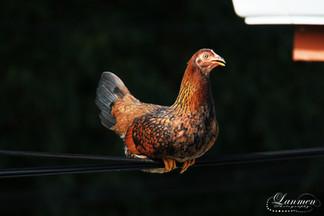 St Lucia Photography Jungle Fowl Hen.jpg