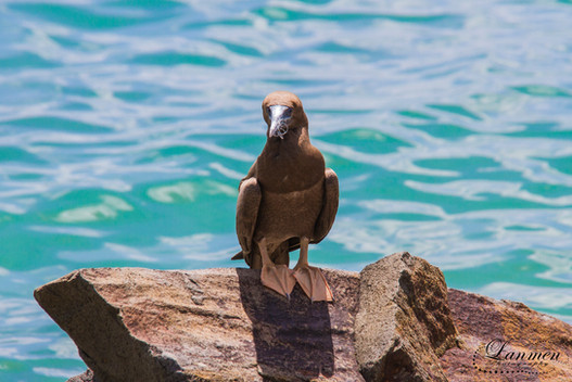 St Lucia Photography Wildlife Bird Brown