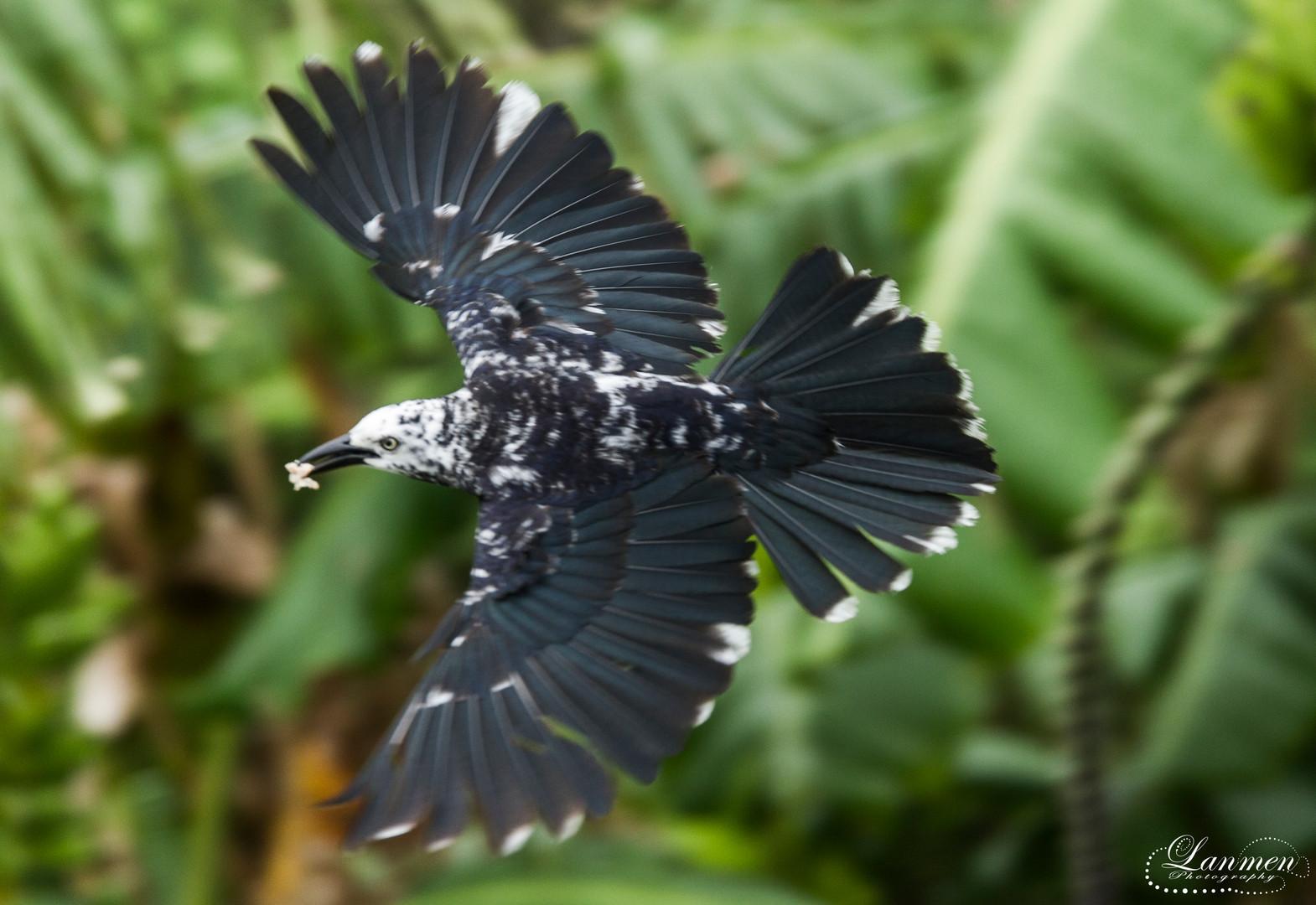 St Lucia Photography Wildlife Bird Carib