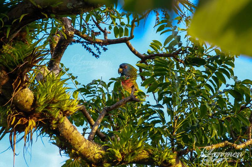 St. Lucia Wildlife Photoraphy Jaquot Par