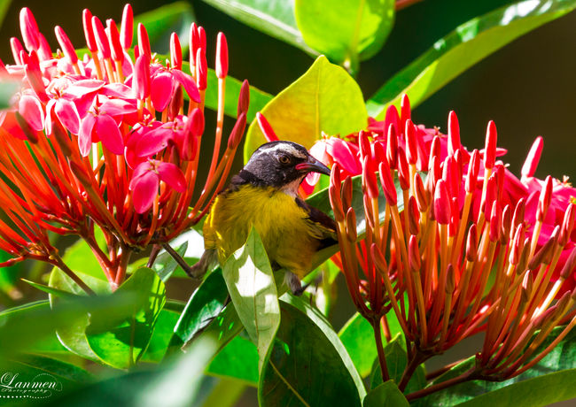 St Lucia Photography Wildlife Banana Qui