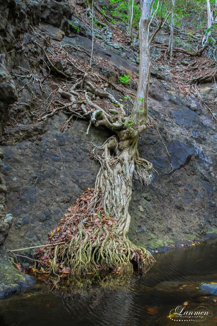 Saint Lucia Landscape Photogaphy Tree Re