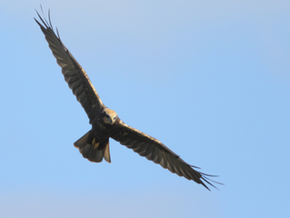Stop the car - its a Marsh Harrier!