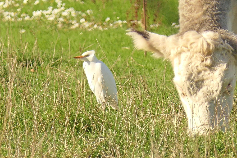 Cattle Egret at Waterhay Farm