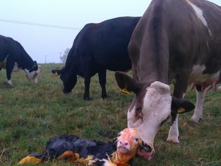 Summer calves