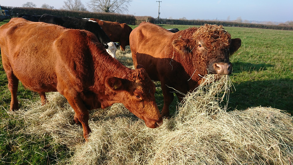 Our new bull Walcot Rambo with one of his ladies