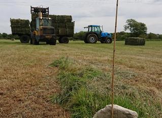 Lots of hay, lots of calves