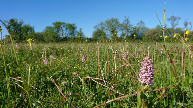 Orchids in a meadow we cut for hay