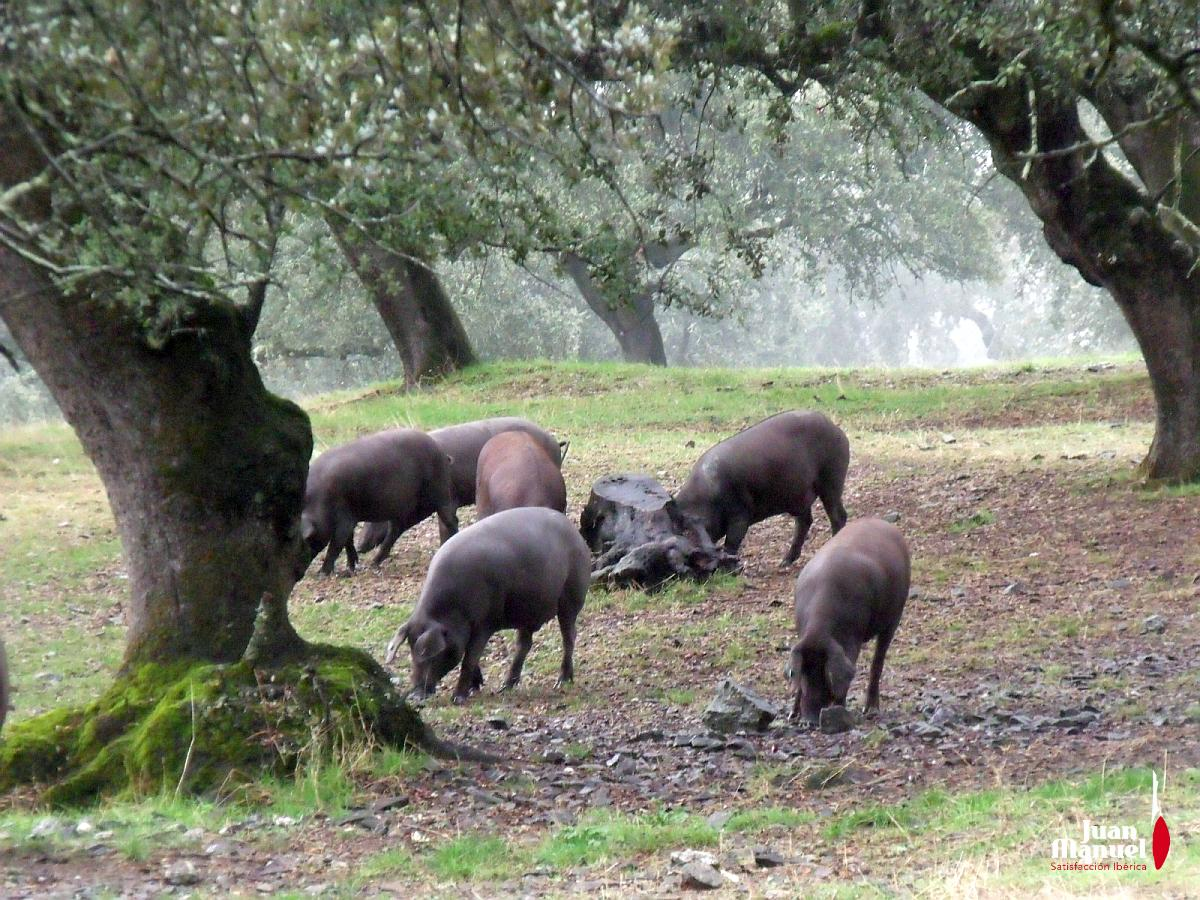 El cerdo ibérico en las dehesas