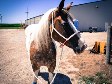 Horse vs. Pony: Halters
