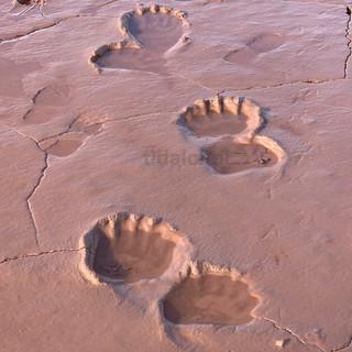 Mud flat, polar bear footprints